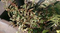 庭の植物に茶色い斑点が出てきました。病気?それとも、こういう色の植物なのか?植物の名前が分からず、対処に困っています。 1か月程前に新築したのですが、2週間ほど前から、庭の植物に茶色い斑点が出てきまし...