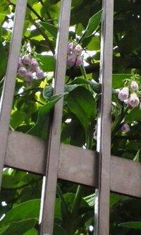 薄紫色の花が咲く植物です。 坂の途中のお宅の庭で見ました。 見た限り木ではなく草の仲間だと思います。 名前をおしえて下さい。