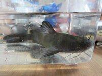 川で採った魚ですが、名前がわかりません。ナマズのようにヒゲが生えていますが、尾びれが2つに割れています。この魚の名前を教えていただけますか?