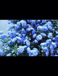 花について質問です。 ブルーワンダー、という花について知りたいです。  ・花言葉 ・値段の相場  など、とにかくブルーワンダーについてたくさん教えてください!!