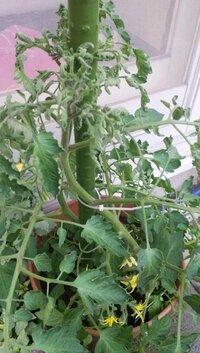 鉢植えのミニトマトについて 5月上旬に植えたミニトマトなんですが、ここ数日上の方の葉だけ丸まってきました。 高さ30cmくらいまで成長したところです。 昨日の朝いつも通り水やりをしようとしたら根元からぐったりと倒れていました。 ただ折れてはいないのでまだ枯れたわけではないのかなと思っております。 水やりは土の表面が乾いたら、朝水やりをするといった状態です。 土は野菜と花用の培養土と...