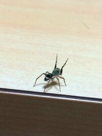 このクモの名前教えて下さい。 いきなり現れてすごく威嚇?しています。 口みたいなものもありました。