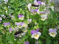 ツマグロヒョウモンの育て方について 数日前から自宅の庭にあるビオラに黒い幼虫がついており(画像は今朝の様子です)、葉や花などを食べられていました。 「うわッ!」と思い花から離していたのですが「何の幼虫だろう?」と調べてみたところ、ツマグロヒョウモンというなかなか美しい蝶の幼虫のようです。 子供たちがまだ小さいので、これはぜひ蝶になる様子を見せてやりたいと思い、プランターの中に戻してやりま...