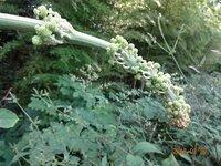 この植物の名前は? ウドと同じ所に生えており、ウドと思いましたが、形が何か変です。