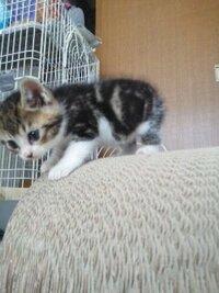 我が家の猫の柄は何柄でしょうか? 先週子猫を拾いました。 大切な家族です。  うちの子の柄についてなのですが、かかりつけ(犬も飼っています)の獣医さんは「キジトラ白ねこ」と言っていて、知り合い(遠い...