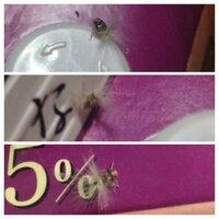 変な虫!タンポポの綿毛みたいな虫がいました ピントを合わせるのがとても大変だったので 分かりづらいですが 何と言う虫でしょうか?