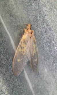 胴体がセミのようで頭が細長い虫がいました。 この虫の名前がわかるかた回答よろしくお願いします。 北海道です。