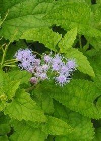 薄紫色の花の名前を教えて下さい。 背丈30cmくらいの草だと思います。