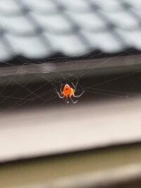 この蜘蛛はなんでしょうか? 背中が赤いのでセアカゴケグモ何でしょうか?