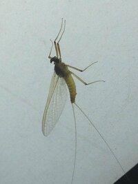 見た目は蚊みたいで、 尾が二つに分かれてて長い虫。   こいつがお店の付近に大量発生していて困っています><  どんな虫かもわからなくて無視するわけにもいかず、 今度のお祭りに向け て準備もしたいの...
