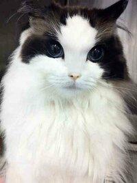 よく見かけるこの美人猫はなんという種類ですか?  こんな美人飼いたいんですけどなかなかいないんですかね?