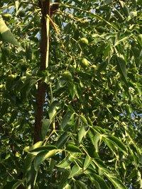 この木のみは食べることはできますか?