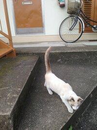 白猫が私にニャオと鳴きながら近づいてきました。凄く人懐っこいし飼い猫かな?