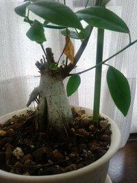 ガジュマルを育てています。 写真のように幹の横側から一本だけ長い枝が出ているのですが(枝だけで約80センチくらい) 植え替えの際どうしたらよいでしょうか  そのまま放っておくとドンドン 横に向かって成長...