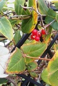 フェンスでやや枯れかけのツル植物に赤い実がついていました。 この植物は何でしょうか?