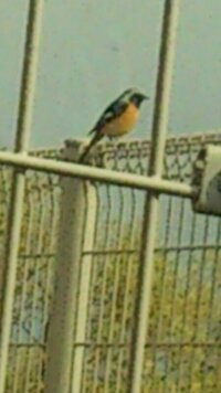 この鳥はヤマガラでしょうか?ジョウビタキでしょうか?それとも、別の鳥でしょうか? 撮影場所は佐賀県の平地です。数キロ先に脊振山があります。  画像が粗くてすみませんm(_ _)m よろしくお願いしますm(_ _)m