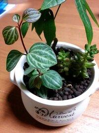 観葉植物のペペロミアについて  100均で購入したペペロミアの正式な名前が知りたくて色々調べてみたのですが…この画像のものは「プテオラータ」であっていますか?  どうぞ宜しくお願いします 。