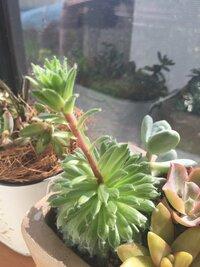 育ててる多肉植物のセンペルビウムが 写真のような状態です。これは何が原因でしょうか?詳しい方教えてください。