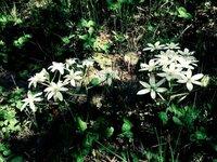メタルギアソリッド3のザ・ボス戦ででてきた花の名前が知りたいです 画像の花らしいんですが名前がわからないです 分かる方お願いします
