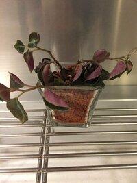 ペペロミアのハイドロカルチャー苗をセラミスで育てていたのですが、一昨日から急に元気がなくなり、茎も葉もぐんにゃりしてしまいました。セラミス用の液肥やお水を通常通りあげましたが、1日経ってもぐんにゃ...