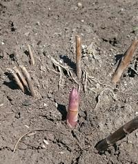 """アスパラに芽が出ました。 昨年、""""根""""を植え付けて、初めてのアスパラです。 一番最初の芽は、収穫せずに伸ばした方が良いのでしょうか?  追肥は、鶏糞で大丈夫ですか?  宜しくお願いします。こちらは埼玉県南部です。"""