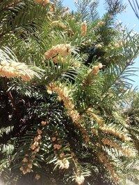 この木の名前、ごぞんじのかた、名前を教えてください。