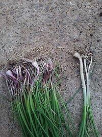 野草に詳しい方教えてください。  今土手でノビルを採ってたんすけど、赤っぽいノビルみたいなのが出てきました。  匂いは普通のノビルと同じですけど形がらっきょうっぽいです。  こいつ は何ですか?  ...