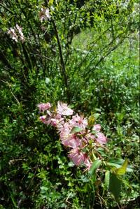 この植物の名前を教えて下さい ゆきやなぎの根元から ひょろっと伸びてきて 梅の花と同じぐらいの大きさの花で 茎は焼き鳥の串位の太さです 高さは50cm位です 岐阜県南部 今は散りかけています 可愛い花なので移...