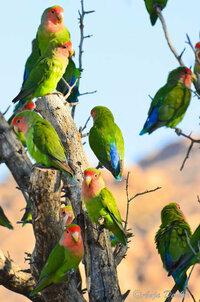 コザクラインコ(ノーマル)の色について質問です。我が家では3羽のノーマルを飼育しています。3羽とも暗めの緑です。暗めの緑ペアから画像のような明るい緑が生まれる可能性はありますか?よろしくお願いします。