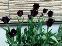 最も真黒色のチューリップの品種を教えてください! 黒色チューリップの球根を買い、先日最多のですが若干、紫色っぽいです。喪服の黒ぐらい真っ黒のチューリップがほしいのですがありますか?