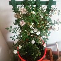 ミニバラが枯れてしまいます。 鉢植えのミニバラを購入したのですが、後ろがわの葉や蕾がどんどん枯れてしまいます。  改善策をご教示いただけると幸いです。。  環境は、普段室内においており、お天気のよい日は...