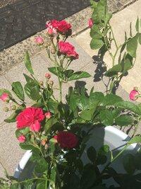 バラの育て方について。  ご近所さんからバラのおすそ分けを頂きました^ ^ しかし、増やし方がわかりません(;_;)  バラの種類も聞き忘れました>_< どうすれば良いでしょう? バラ はモッコウバラ(...