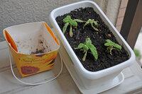 ミニひまわり 植え替え、失敗した??? タイトル通りです。 写真にあるような10㎝角の黄色い小さな鉢(表は紙、中の鉢はプラスチック)に4つ芽が出て葉っぱがお互いに重なるようにまで成長しました。 この時点...