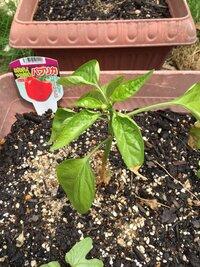 ホームセンターで買ったパプリカの苗をプランターに植えました。 しばらくすると茎の根元が茶色く変色し、細くなってきました。 なにか病気でしょうか? このまま枯れてしまうのでしょうか? 対策があれば、教...