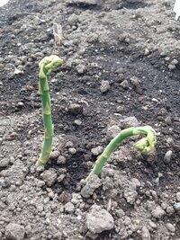 アスパラの生育不良についてです。先が曲がってしまうのは何が原因でしょうか?昨年秋貰った根を植えたのですが、出てきたものの色も悪いです。北海道の寒地で栽培しています。