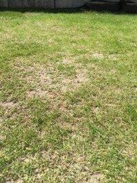 芝生について。 これまでにも、ここで質問させて頂いております。また、ご回答頂ければ幸いです。  芝生をはって、3年程たちます。一時は順調にあおくなっていたのですが、今年は所々禿げて いるというか、密...