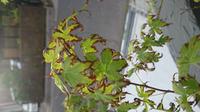玄関先のもみじの葉先が茶色く変色してます。これは枯れてきているのでしょうか?日当たりは良好で水やりもやってます。 どなたか対処法等、詳しい方がおりましたら、宜しくお願い致します。