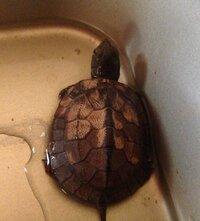 この亀の種類を教えてください! 甲羅の色は茶色で 今は赤ちゃんで500円玉ぐらいです、