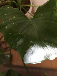 観葉植物の葉に薄茶色の斑点が出来てしまいました。これは病気になってしまったのでしょうか? ちなみに室内に置いており日光にはあまり当たっていません。クーラーや暖房はつけていません。 わかる方よろしくお...