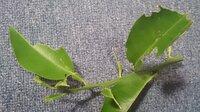 柚子の葉の虫の駆除方法を教えてください。  写真のようになっています。 ナメクジとアゲハの幼虫を毎日とっています。