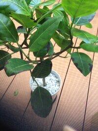 アルテシーマ[ゴムの木]の木の葉っぱに黒い斑点のようなものができています。病気でしょうか? ちょっと気持ち悪いです。 調べてもあまり出てこなくて教えて頂けたら嬉しいです。
