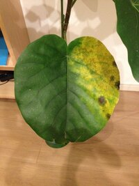 ウンベラータの葉に茶色の斑点が出来てしまいました。 室内でウンベラータを育てています。 最近ふと見たら、1枚の葉に茶色い斑点のようなものが出来ており、 その周辺がどんどん黄色く変色してしまっています。 (写真を添付します) これは病気なのでしょうか?? 他の葉はまだ平気です。 2週間前くらいにも同じような状態になった葉があり、 そのうちその葉だけが落ちてしまいました。  普...
