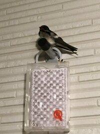 毎日夜になるとこの鳥が玄関前のこの位置にいるのですが、この鳥はなんという鳥ですか?なぜ毎日来るのでしょう??