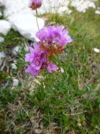 イタリアのドロミテの標高2000m以上の所でよく見かける花です。名前を教えて下さい。