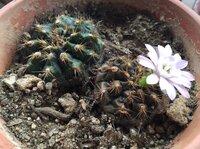 22年ぐらい前に購入し元気に育っていたサボテンが急に茶色くぶよぶよになりました。 生き返るかと思い、日光に当たるところに置き水やりをしていましたが半年経っても状況変わらず。 が、最近 蕾を付けて花が咲きました。 花が咲き終わったら植え替えした方がいいですか? それともこのまま置いておいた方がいいですか? 左側の緑のサボテンも下部分が茶色くぶよぶよになっていますが蕾が出てきています。...