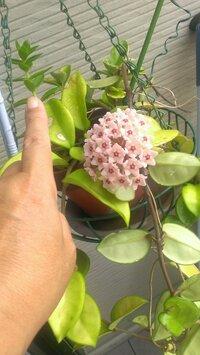 ツル性植物にピンクの花が咲きました。名前がわからないので教えてください。