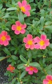 舗装道路の端っこと壁の間で咲いてる赤い花の名前をおしえてください。