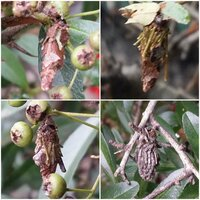 この幼虫 サナギは何の虫ですか?? 気になったので質問です!  このサナギが沢山いる木?は、 メジロ等?が食べる 赤くて小さい実がなる木?です。  この木?で育つ虫を知りたいと思いました 分かる方は回答宜...