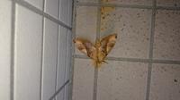 蛾の名前が知りたいんですが、茶色のおしりの先がとがっていて、上から見た頭の部分に黒の1本線がついていて、羽根は 波うっているような模様があります。 縦に線がありそこで濃茶いろと白っぽい色に分かれています。