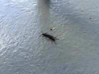 沖縄県に住んでる者です。 那覇の自宅では見たこと無いのですが、職場のある南城市にずっと交尾している謎の虫が大量発生します。この虫の名前と、撃退方法があれば教えて下さい。